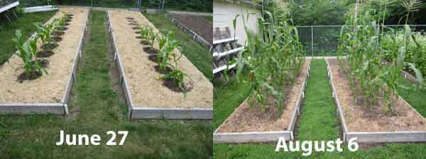 Sweet corn growing  in a raised bed